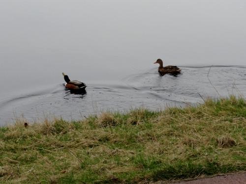 Eenden Haarlemmermeer